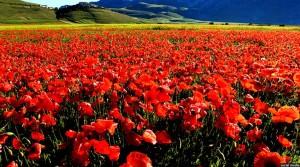 جشن گل سرخ عمومن در مناطق شمالی افغانستان تجلیل می شود