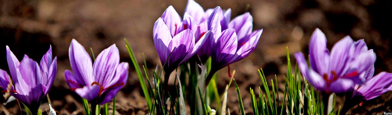 Flowers-in-Afghanistan