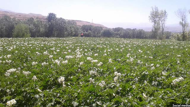 Bamyan Potato