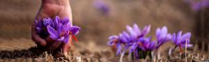 afg-Saffron-mainpage