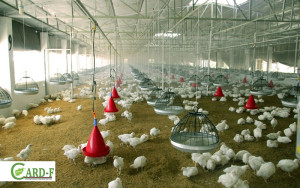 موسسه ی در افغانستان در بخش مرغ داری