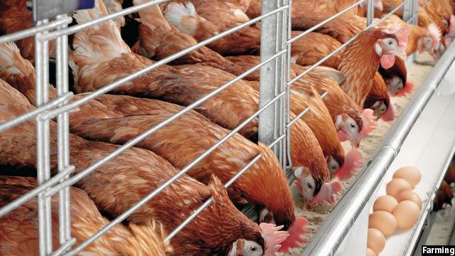 به دلیل افزایش تولیدات داخلی مرغ، واردات آن کاهش یافته است
