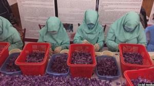90درصد کارکنان تولید زعفران را زنان تشکیل می دهند