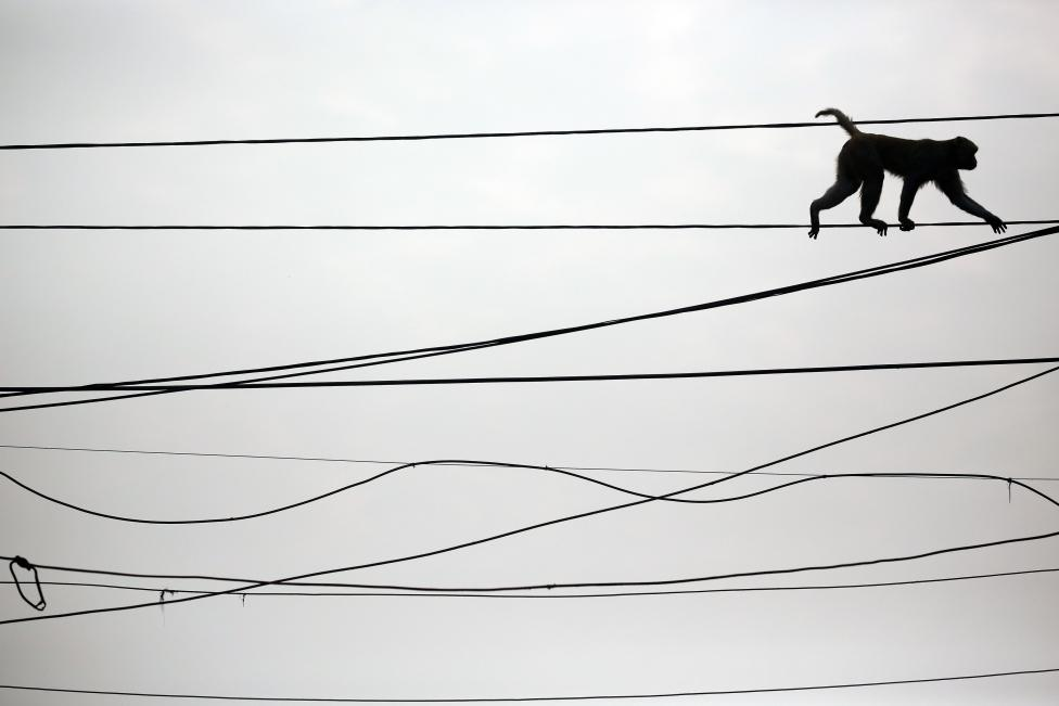 A monkey walks on power lines above a busy market in the old quarters of Delhi, February 29, 2016. REUTERS/Cathal McNaughton