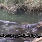 مردی که برای تمساح ها غذا می دهد؛ تمساح از خطرناک ترین خزندگان جهان است