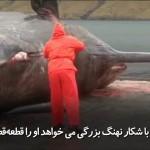 انفجار شکم نهنگ وحشتناک است