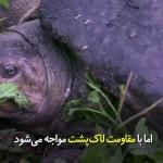 تمساحی که لاکپشت را می خورد