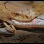 خطرناک ترین مار جهان مار دیگری را در یک چشم به هم زند می بلعد