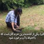 زن شجاعی که به راحتی کشنده ترین مار را شکار می کند