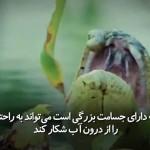 مار بزرگ آناکودا تمساح را شکار می کند