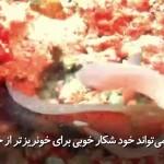 وقتی کشنده ترین حیوان دریایی توسط مارماهی شکار می شود