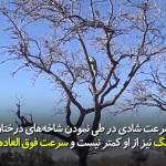 پلنگ در بلندترین شاخه درخت نیز میتواند شادی (میمون) را شکار کند