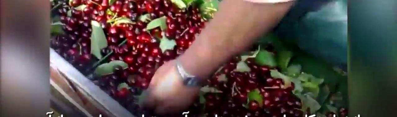 -آوری-ساده-و-سریع-میوه-توسط-ماشین-مخصوص