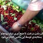جمع آوری ساده و سریع میوه توسط ماشین مخصوص
