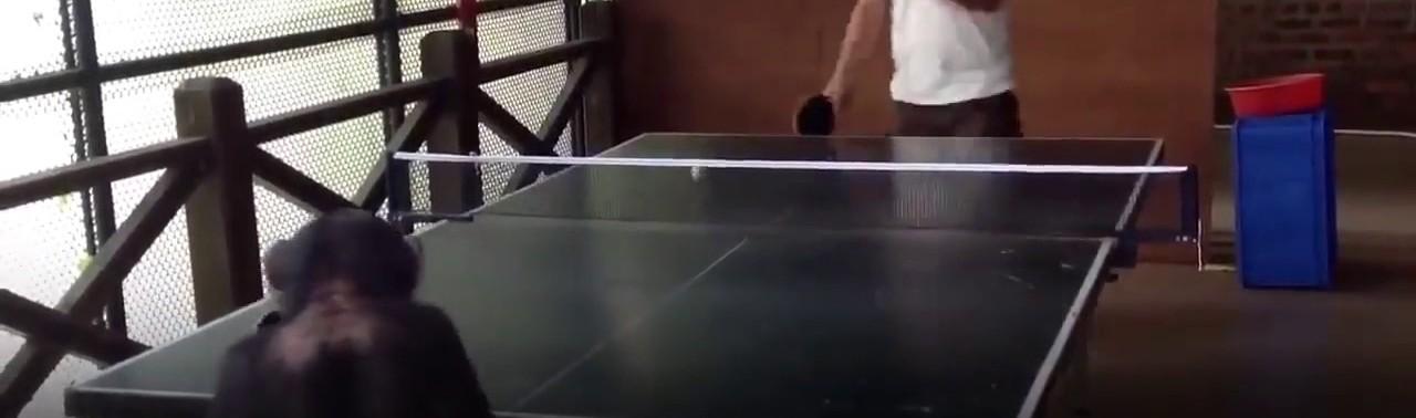 -میمون-که-همانند-ورزشکاران-ماهر،-پینگ-پانگ-تنیس-روی-میز-بازی-میکند