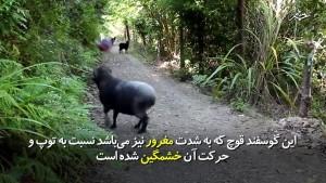 -گوسفند-می-تواند-این-گونه-باشد