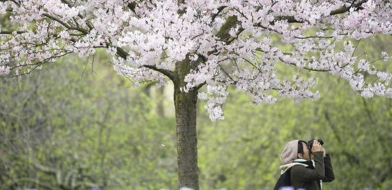 A woman photographs blossom in St. James's Park, in London, Britain