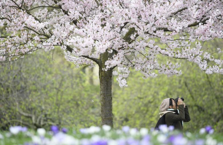 دختری حین عکاسی از شگوفههای درخت در پارک سنت جیمز در لندن. / عکس: رویترز