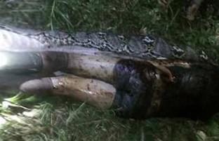 جسد مرد اندونیزیایی در شکم مار ۷متری