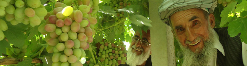 نیاز به سرمایهگذاری استراتژیک؛ رشد چشمگیر و زمینه مناسب تولید انگور در افغانستان