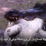 تمساح بزرگی که بیرحمانه نوعی از خود را میخورد