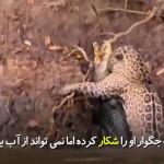 جگواری که در شکار تمساح مهارت خاصی دارد