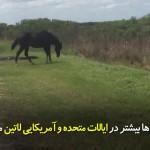 زمانی که تمساح در حوزه زندگی اسبها داخل میشود