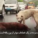 سگ وفاداری که بر جنازه رفیقاش ایستاده و تلاش دارد او را کمک کند