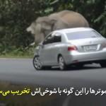 شوخی و قهر فیل هردو میتواند مضر و حتی کشنده باشد