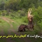 شکار بیفرجام؛ اتحاد گاوهای که نمیگذارند هیچیکی از آنها طعمهی شیر شوند