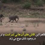 فیلها شاید جر معدود حیوانات جنگل باشد که به آسانی مورد تعرض قرار نمیگیرند