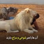 مردی که رفاقت نزدیکی با شیر دارد