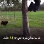 گوسفند خشمگینی که مردی را به شاخه درخت آویزان میکند