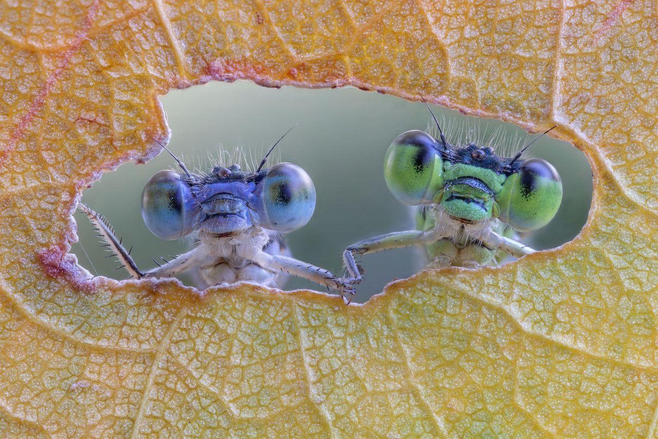 دو سنجاقک و نگاه قشنگ از سوراخ یک برگ 🙂 / عکس: ای پی