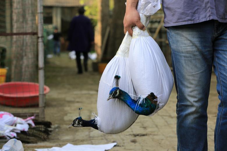 یک چینی حین انتقال طاووسهایش. این تصویر توسط یکی از عکاسخبرنگاران استرینگر شکار شده است