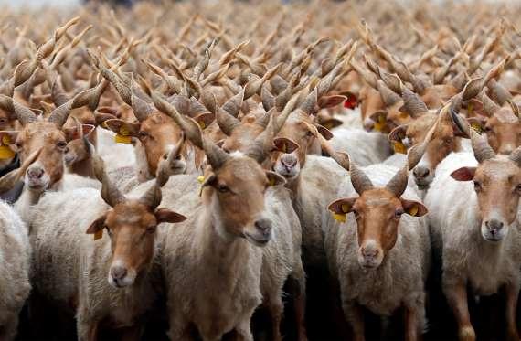گلهی بزرگ از گوسفندان روکه در یکی از دشتهای مجارستان. / عکس: رویتترز