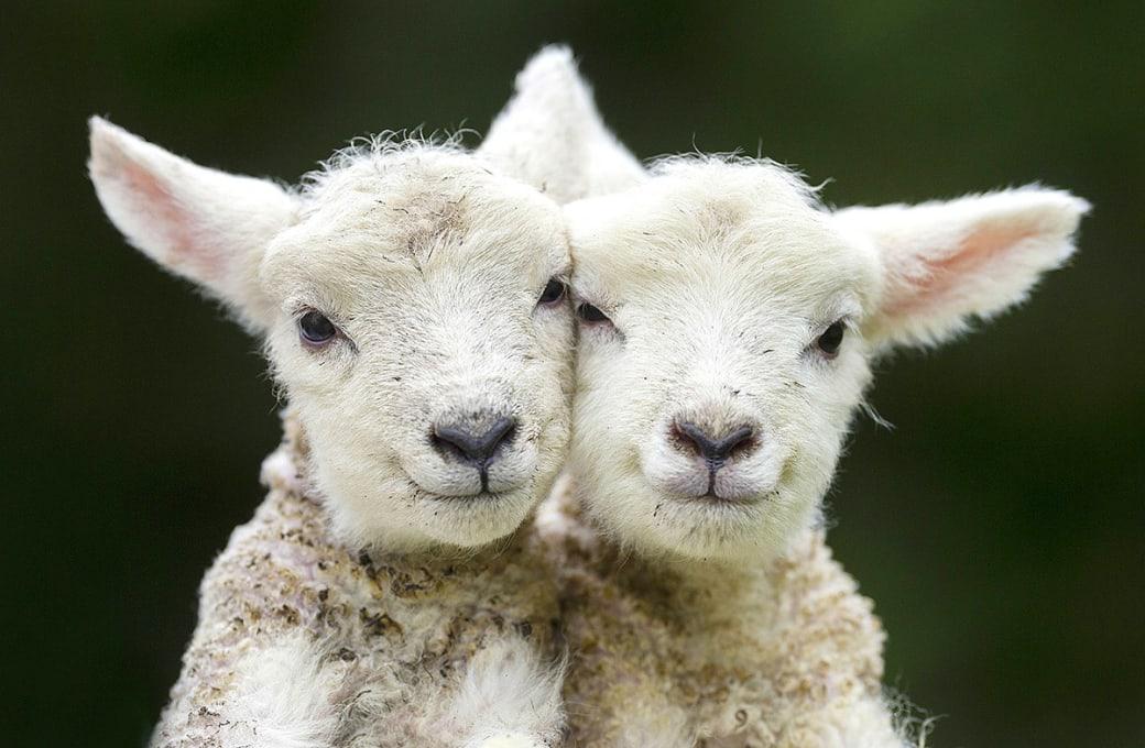 دو برهی همنژاد که سرهایشان را بههم میمالند. این برههای قشنگ هردو در عید پاک دوشنبه به دنیا آمده اند. / عکس: ان ای اکس