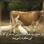 خوکهایی که با خوردن شیر گاو کشاورز را متعجب کرد