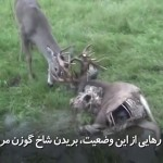 زمانی که گوزن زنده با یک گوزن مرده شاخ به شاخ میشود