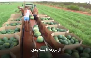 سفر تربوزها از مزرعه تا بسته بندی