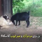 صبر یک سگ در برابر بز مردمآزار