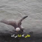 عقابی که از آب نیز دست خالی برنمیگردد