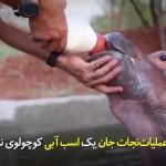 عملیات نجات جان یک اسب آبی کوچک از مرگ