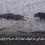 نبرد نابرابر میان تمساح و پشک (گربه) 😲