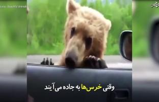 وقتی خرسها به جاده میآیند