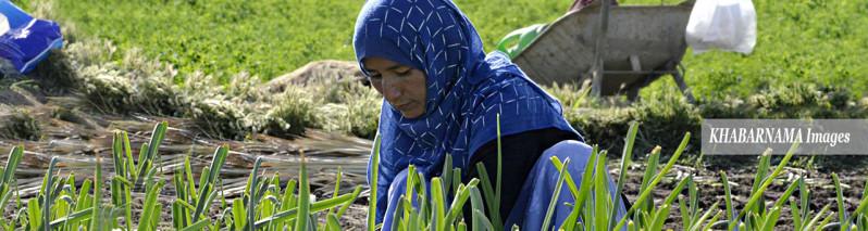 کار در مزرعه؛ شرح زندگی ۴ زن کشاورز در حومه پایتخت افغانستان