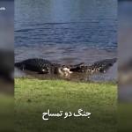 جنگ دو تمساح را دراین ویدئو ببینید