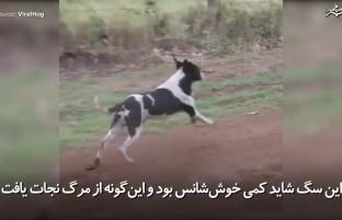 سگ خوششانسی که از یک مسابقهی موتر دوانی جان سالم بدر برد