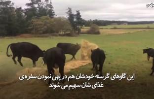 همکاری گاوها در پهن نمودن سفره(دسترخوان)