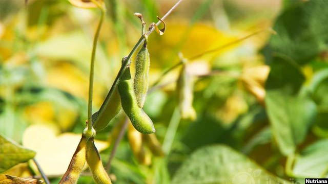 Soybean5